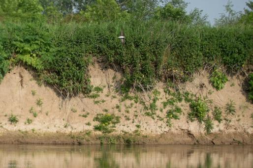 Ein lehmiges Steilufer an der Leine: ideal für die Brutröhren der Uferschwalben.